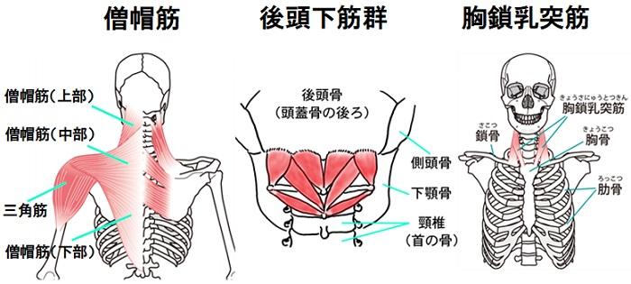 僧帽筋と後頭下筋群と胸鎖乳突筋の図